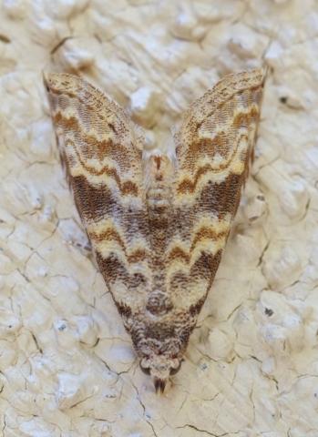 Phobolosia anfracta