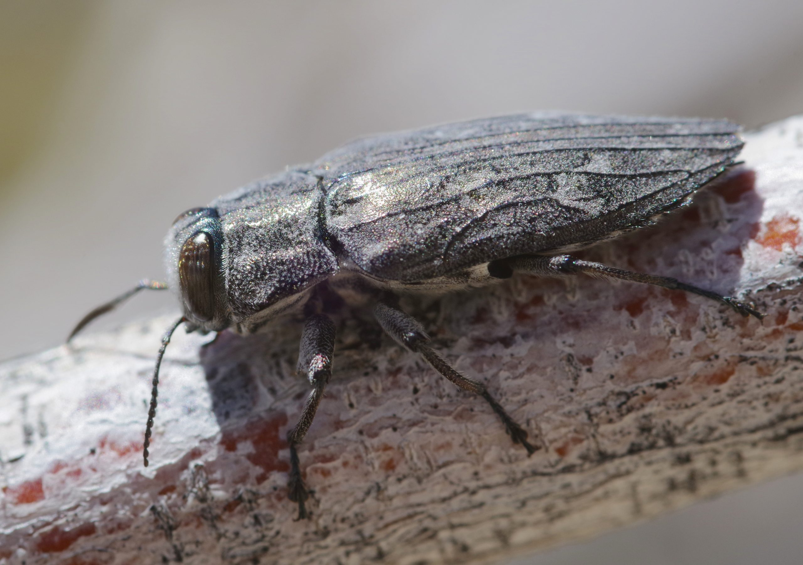 METALLIC WOOD-BORING BEETLE, Chrysobothris femorata group. Photo by Paul De Ley.