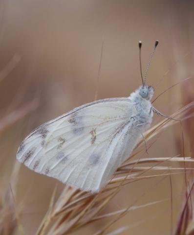 CHECKERED WHITE, Pontia protodice. Photo by Paul De Ley.