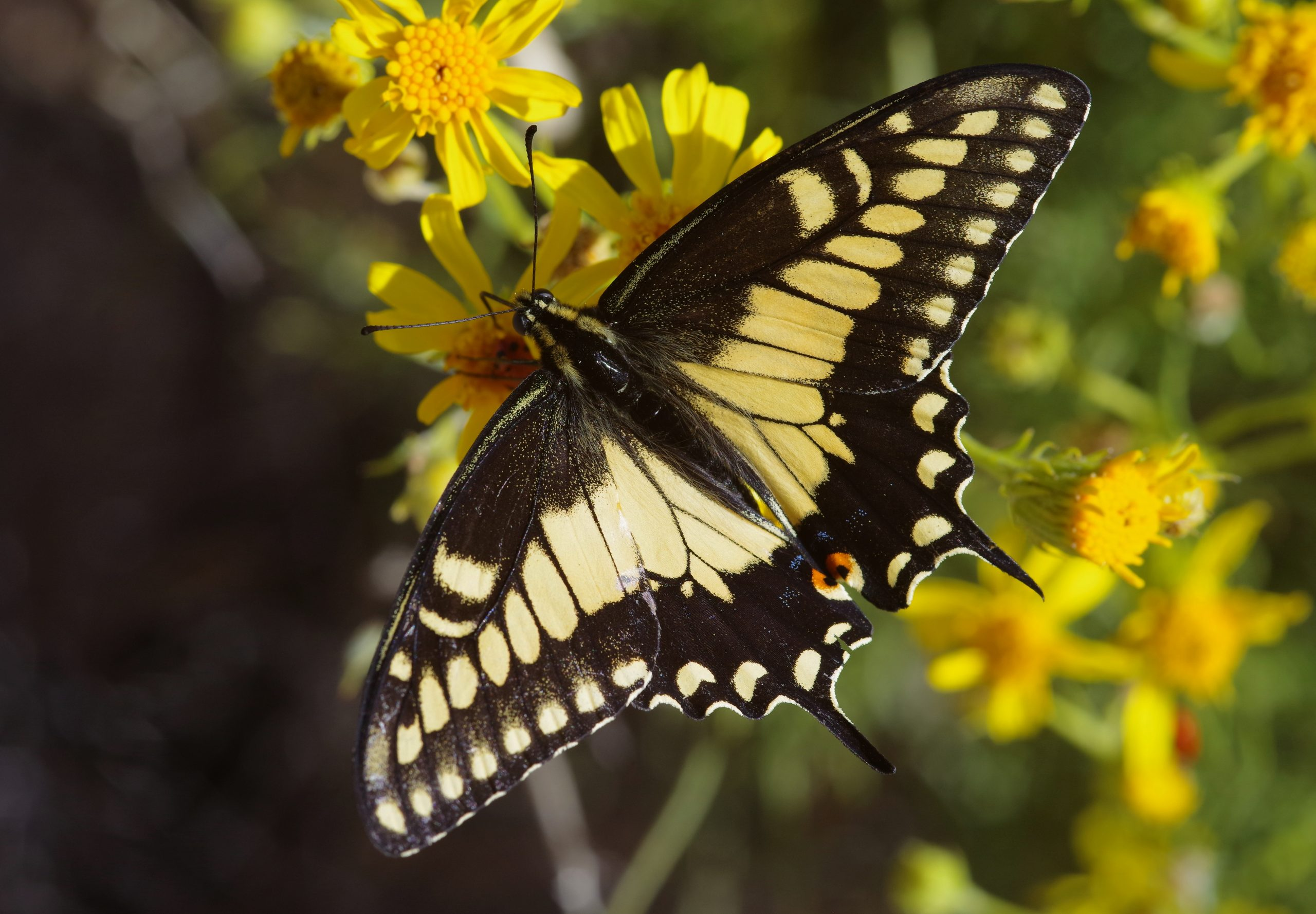 OLD WORLD SWALLOWTAIL, Papilio machaon. Photo by Paul De Ley.