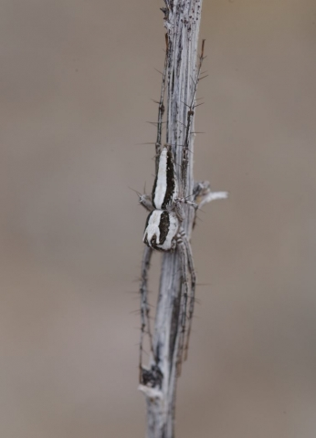 LYNX SPIDER, Oxyopes tridens, resting on a stick. Photo by Paul De Ley.