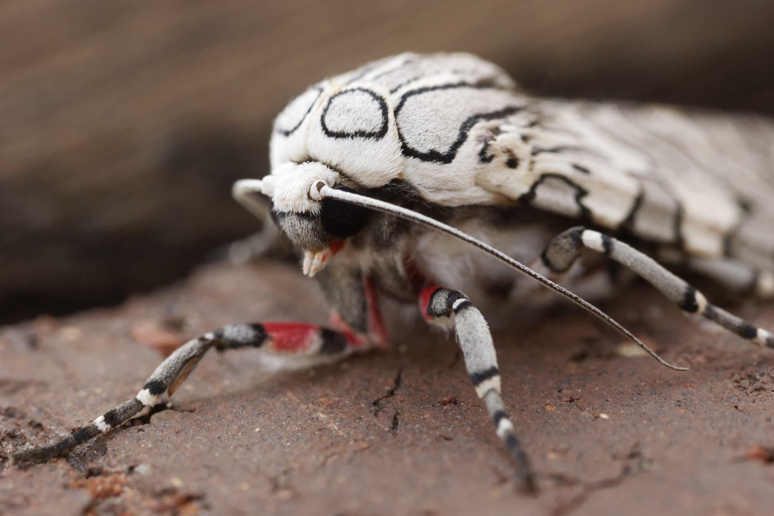 PAINTED TIGER MOTH, Arachnis picta. Photo by Paul De Ley.
