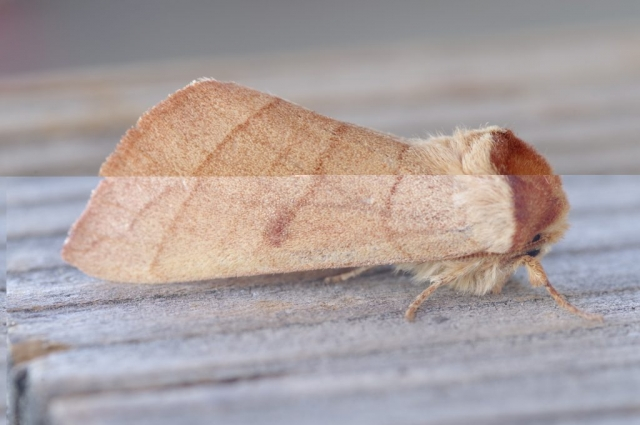 PROMINENT MOTH, maybe Datana perfusa or D. perspicua. Photo by Paul De Ley, June 2, 2019.