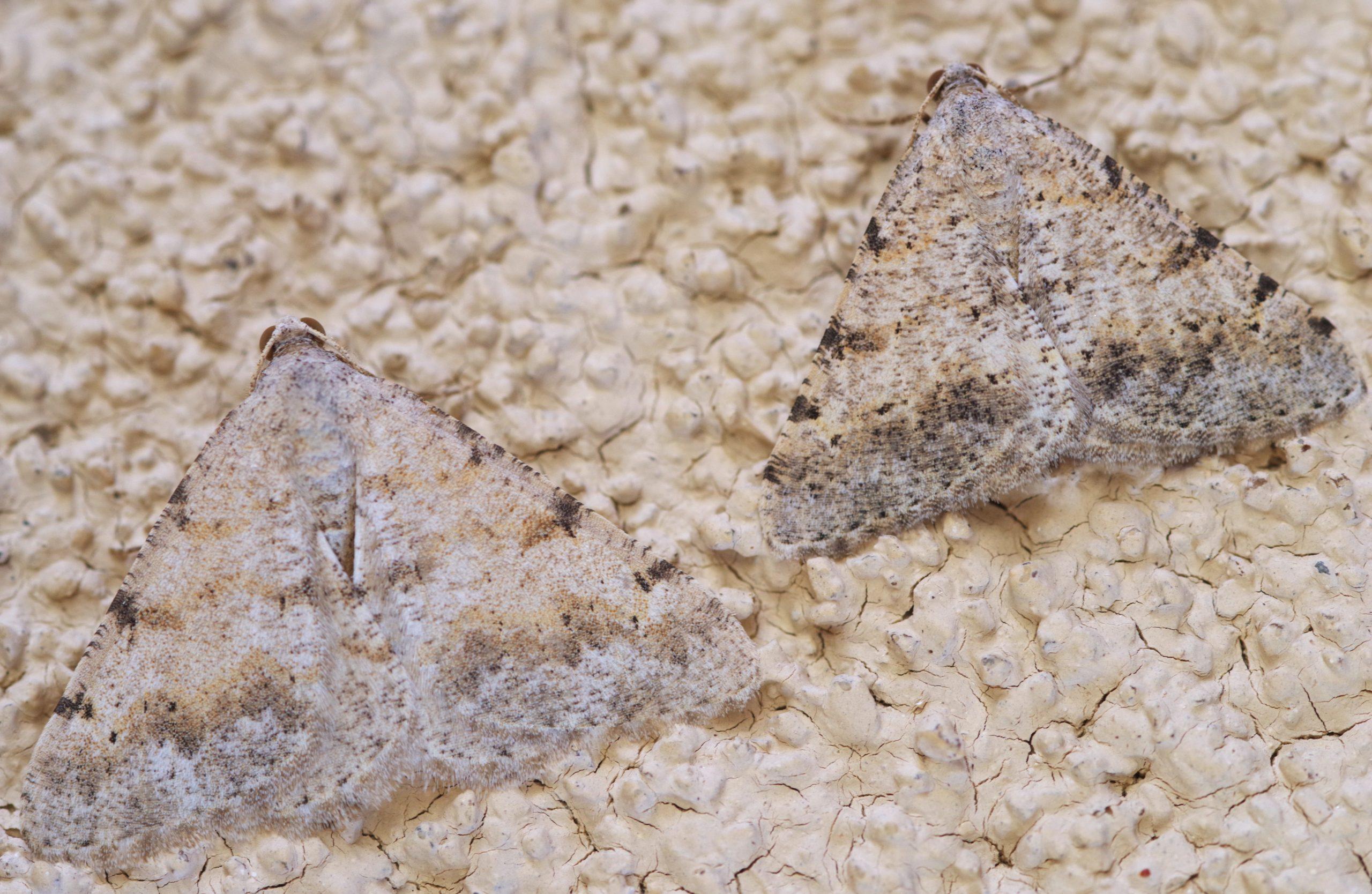 CREOSOTE MOTH, Digrammia colorata. Photo by Paul De Ley.