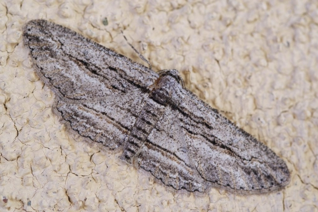 FIVE-LINED GRAY, Glena quinquelinearia. Photo by Paul De Ley.