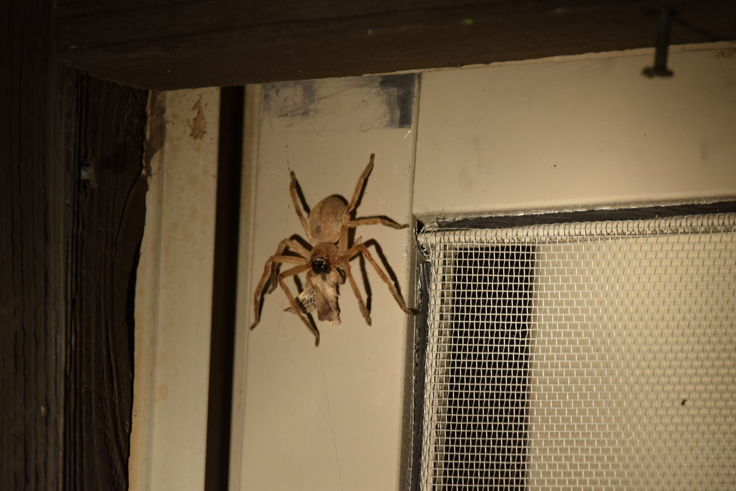 Giant Crab Spider, Olios giganteus, eating a moth, photo by Malory Owen