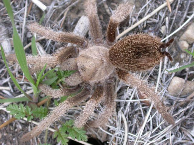 Female Desert Tarantula, Aphonopelma iodius