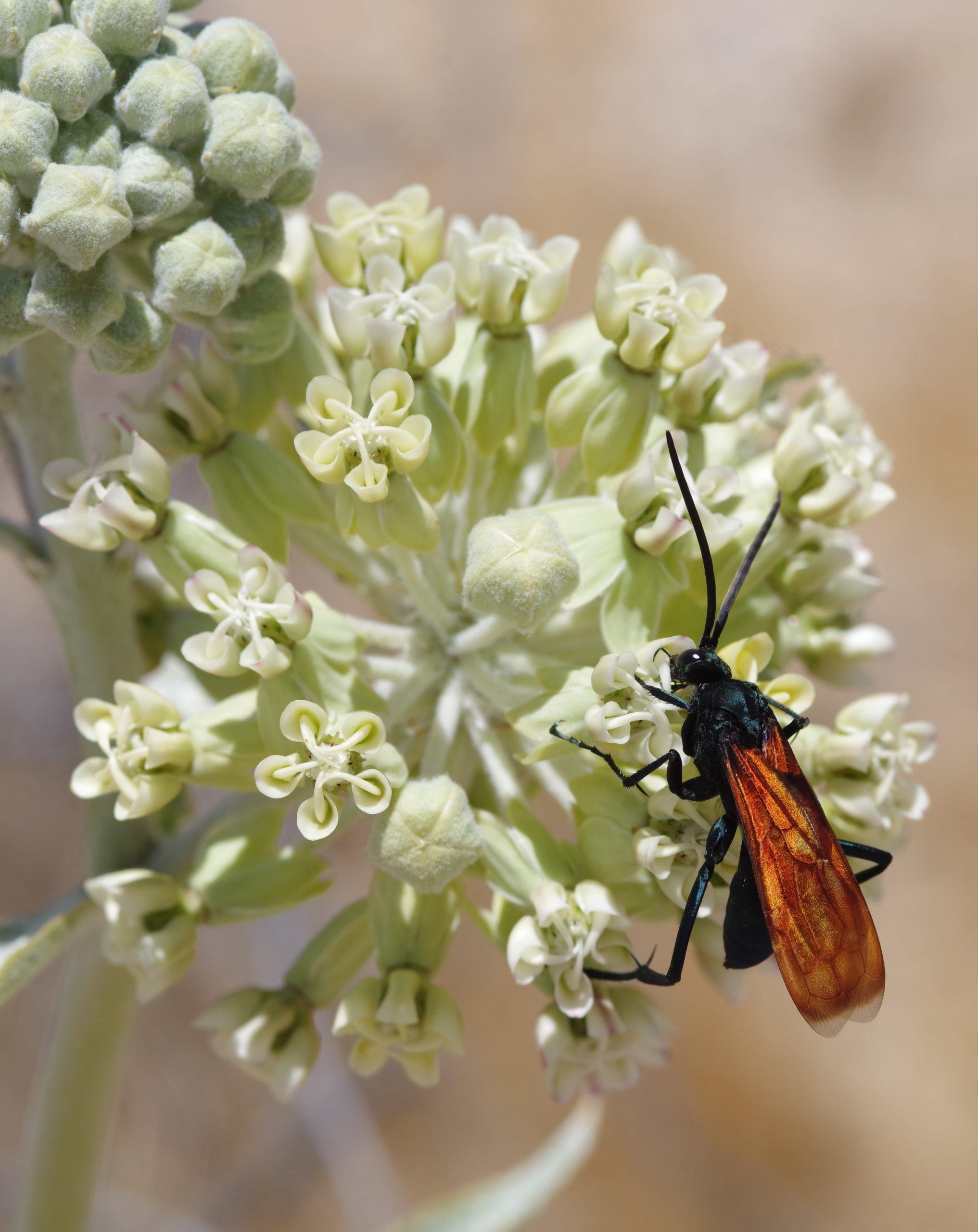 THISBE'S TARANTULA-HAWK WASP, Pepsis thisbe. Photo by Paul De Ley.
